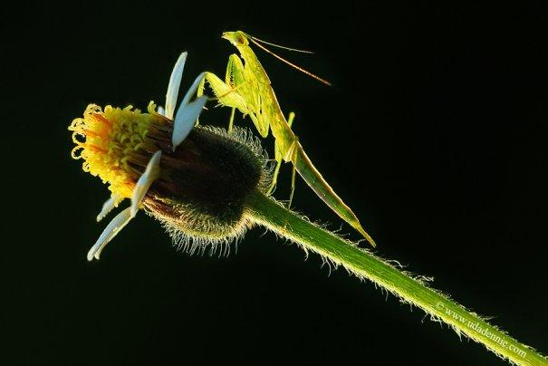 Великолепные фотографии насекомых Дени Алиспутра - №14