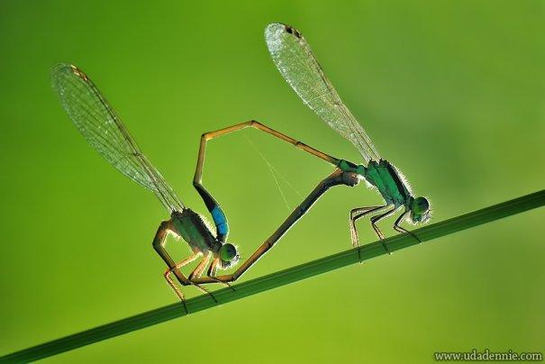 Великолепные фотографии насекомых Дени Алиспутра - №18