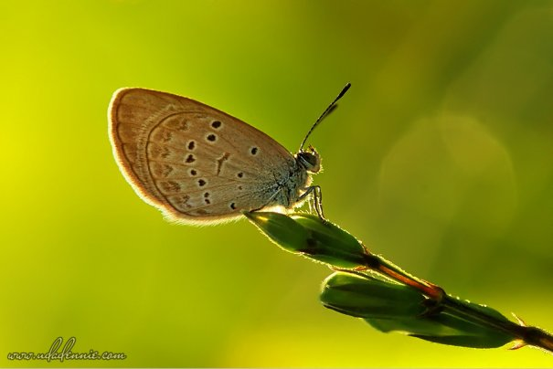Великолепные фотографии насекомых Дени Алиспутра - №23
