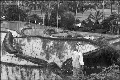 Индонезия. Рисовое поле. 1950. Henri Cartier-Bresson