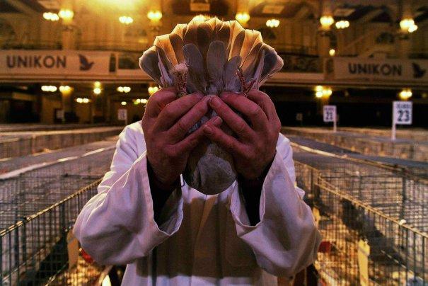 Британские любители голубей - №2