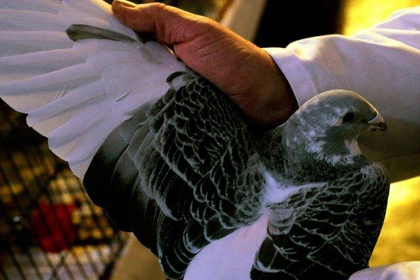 Британские любители голубей - №4