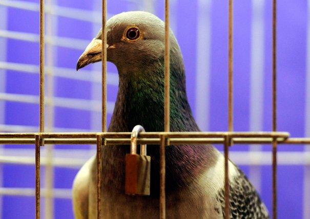 Британские любители голубей - №6