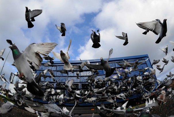 Британские любители голубей - №10