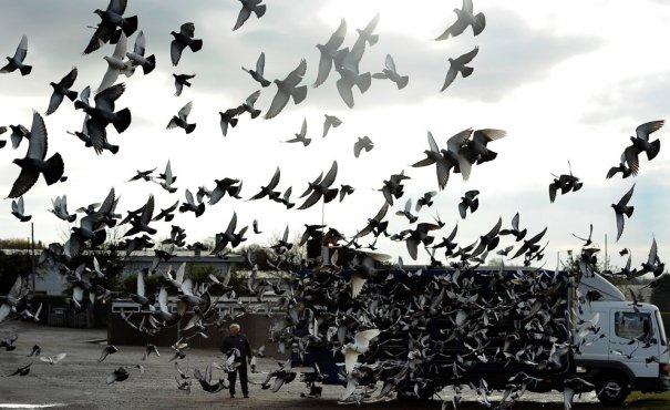 Британские любители голубей - №13
