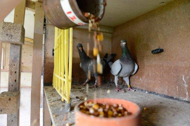Британские любители голубей - №17