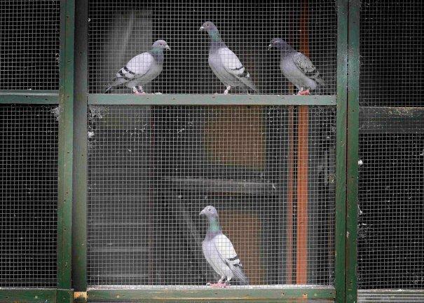 Британские любители голубей - №22