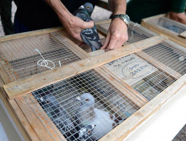 Британские любители голубей - №23