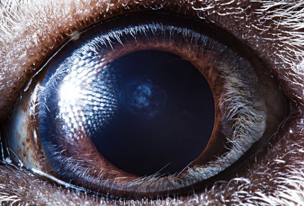 Глаза животных от Сюрен Манелян/Suren Manvelyan - №2
