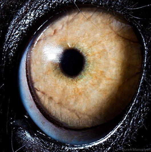 Глаза животных от Сюрен Манелян/Suren Manvelyan - №7