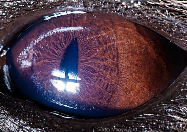 Глаза животных от Сюрен Манелян/Suren Manvelyan - №17