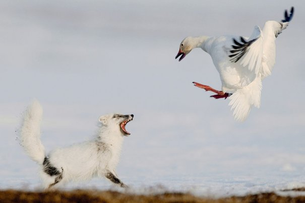 Sergey Gorshkov/Veolia Environnement Wildlife Photographer of the Year 2012