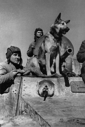 Немецкая овчарка Джульбарс – участник Великой Отечественной войны.