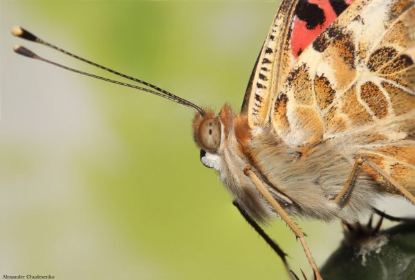 Портрет бабочки