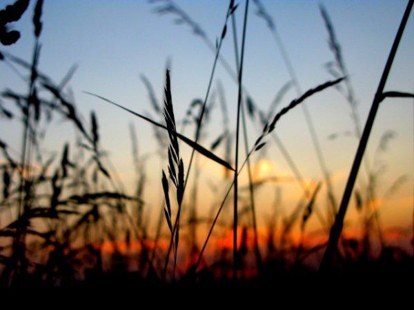 Цветная фотография или черно-белая – пшеница 2