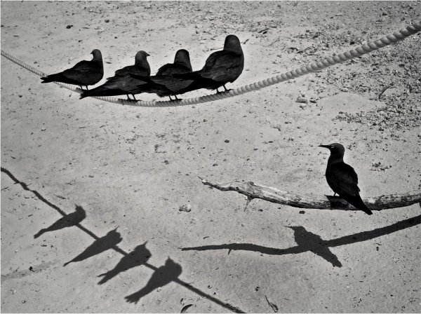 Остров черных чаек. Австралия. Автор фото: Владимир Сидоркин