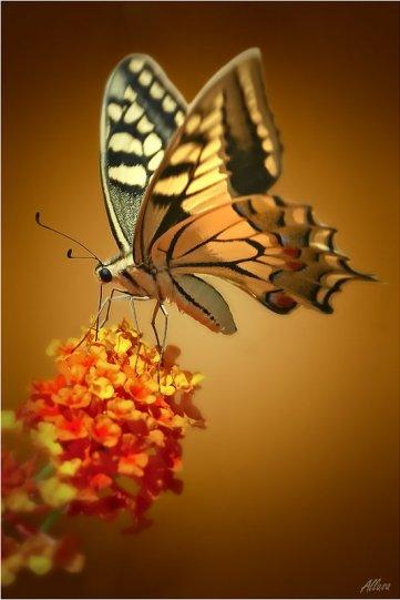 Алла Allasa – фото насекомых