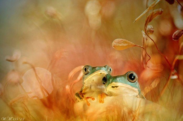 Заманчивый мир лягушек в макрофотографии Уила Мийера - №1