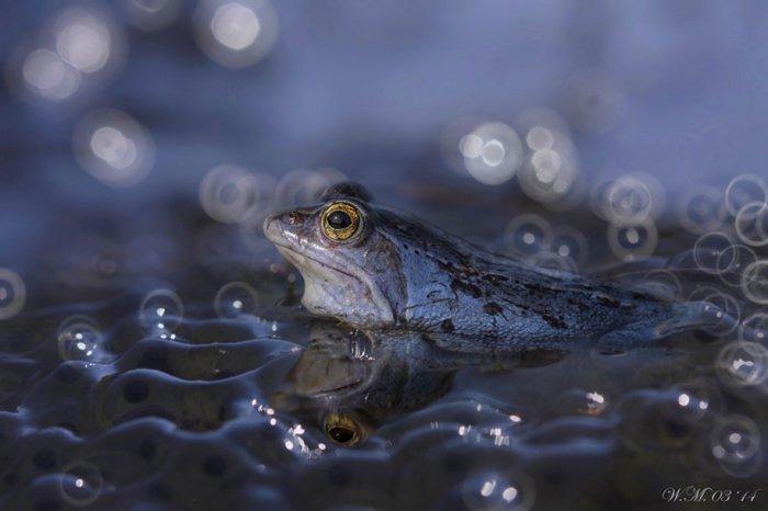 Заманчивый мир лягушек в макрофотографии Уила Мийера - №4