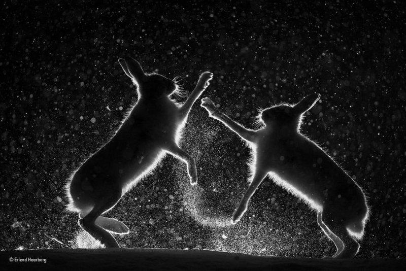 Автор фото: Эрленд Хаарберг. «Размолвка на снегу»