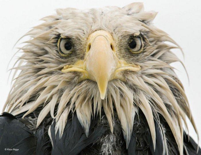 Автор фото: Клаус Нигге. «Смелый орёл»