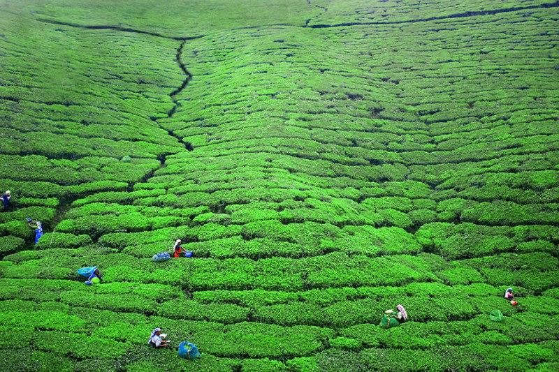 Женщины, работающие на чайной плантации. Нувара Элия, Шри-Ланка
