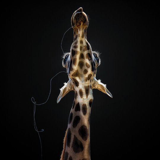 «Слюнявый жираф». Педро Джарк Кребс, Перу