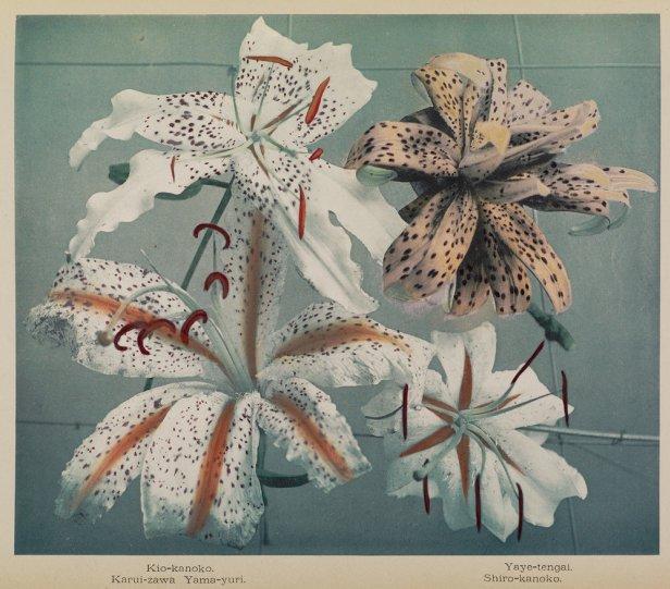 Японские цветы Огавы Кадзумасы - №4