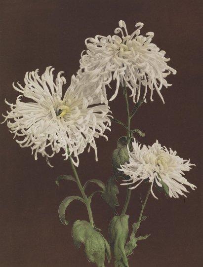 Японские цветы Огавы Кадзумасы - №8