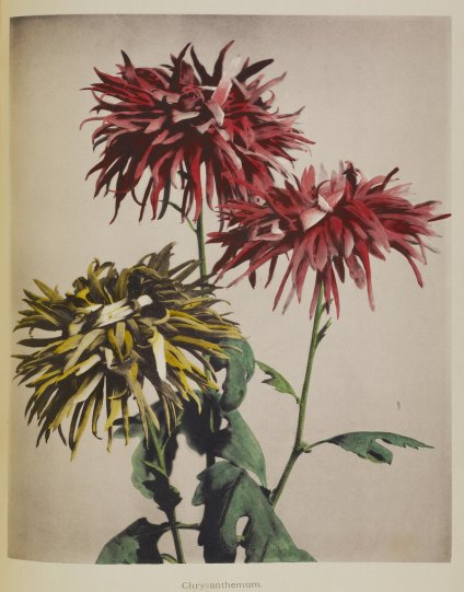 Японские цветы Огавы Кадзумасы - №10