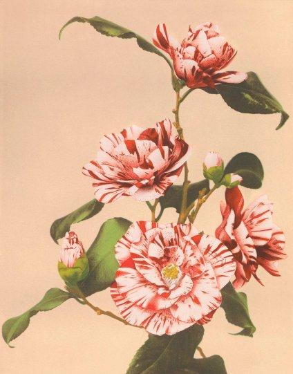 Японские цветы Огавы Кадзумасы - №14