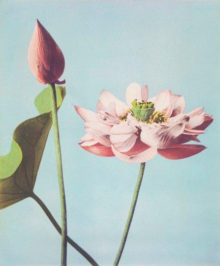 Японские цветы Огавы Кадзумасы - №16