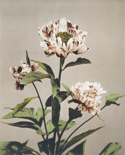 Японские цветы Огавы Кадзумасы - №18
