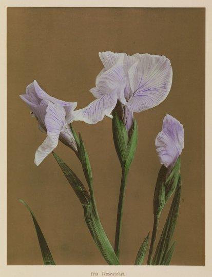 Японские цветы Огавы Кадзумасы - №22