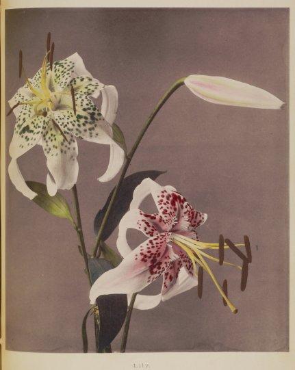 Японские цветы Огавы Кадзумасы - №24