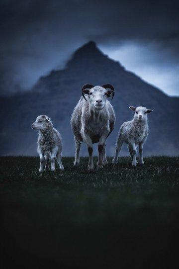 Три овцы в Восточной Исландии.