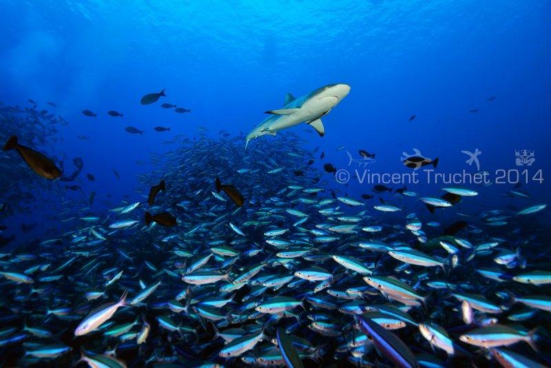 Подводные фотографии Винсента Трюше - №24