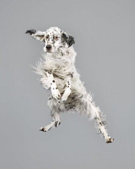 Фотографии собак в прыжке от Джулии Кристе - №2