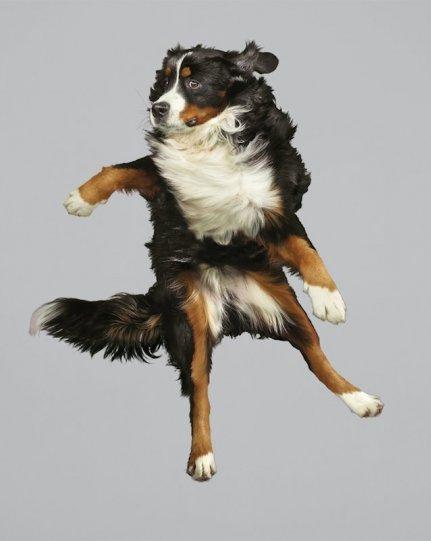 Фотографии собак в прыжке от Джулии Кристе - №14