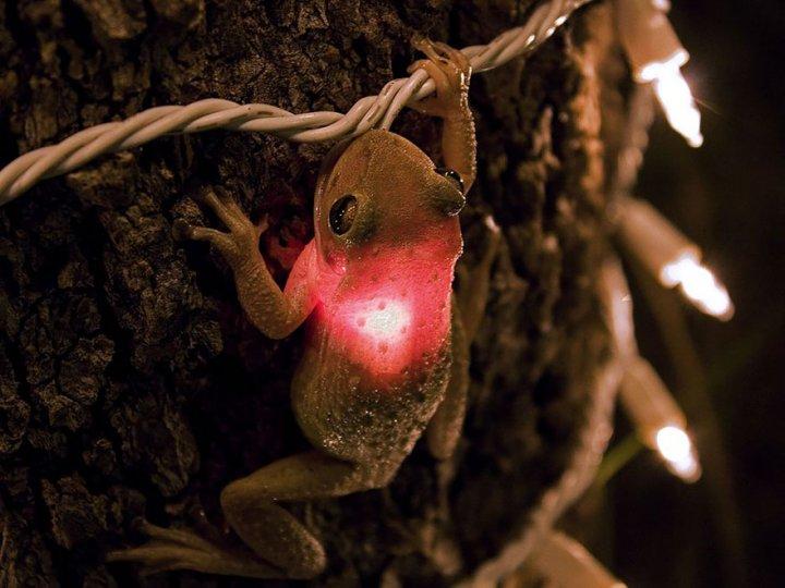Кубинская древесная лягушка