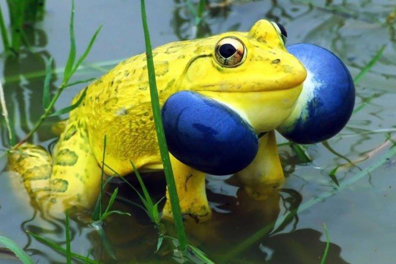 Индийская лягушка-бык