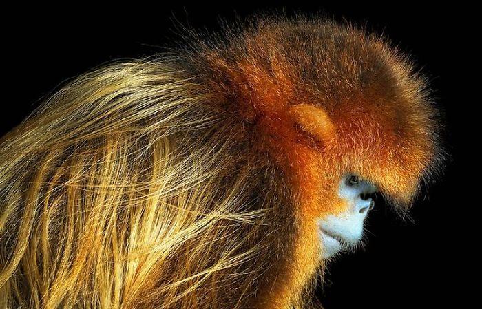 Золотая курносая обезьяна