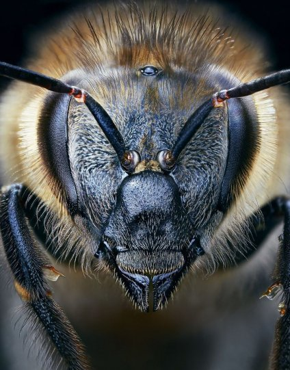 Европейская медоносная пчела