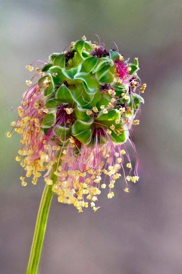 2 место. Цветок салатовой кровохлебки. Автор фото: Ян Гилмор.