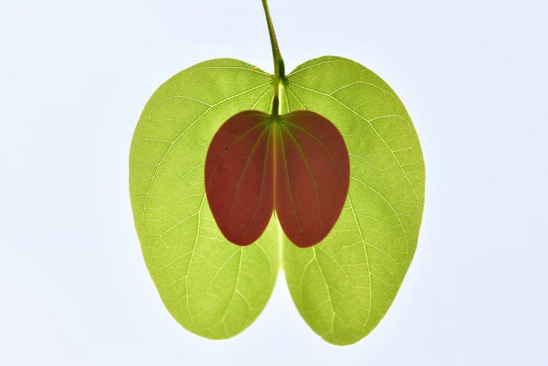 Высоко оценили. Зеленое яблоко. Автор фото: Чжан Лихуа.
