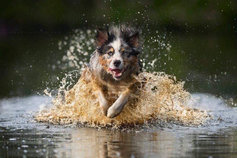 Собаки в фотографиях Клаудио Пикколи - №20