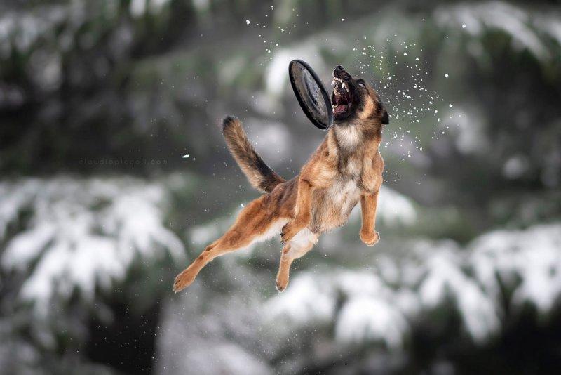 Собаки в фотографиях Клаудио Пикколи - №27
