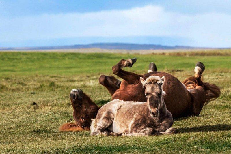 Дикие лошади Исландии - №15