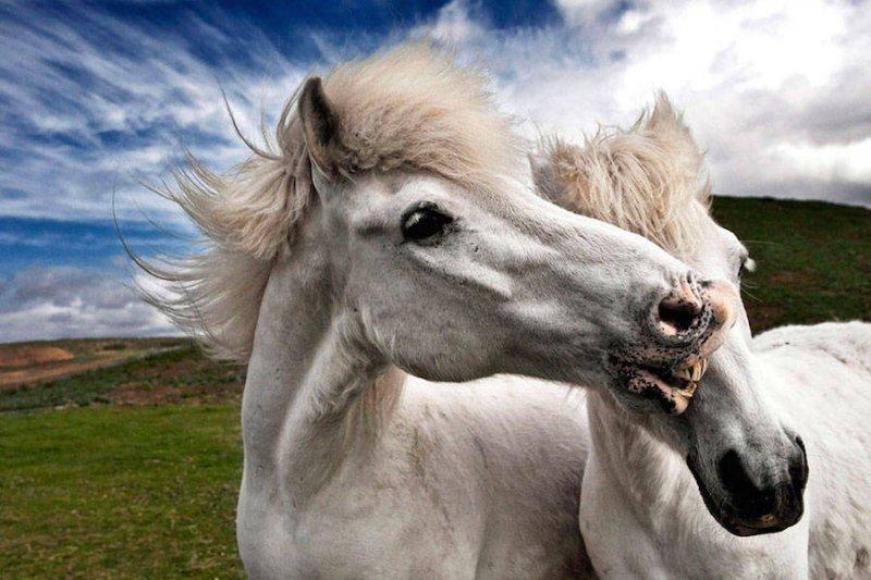Дикие лошади Исландии - №4