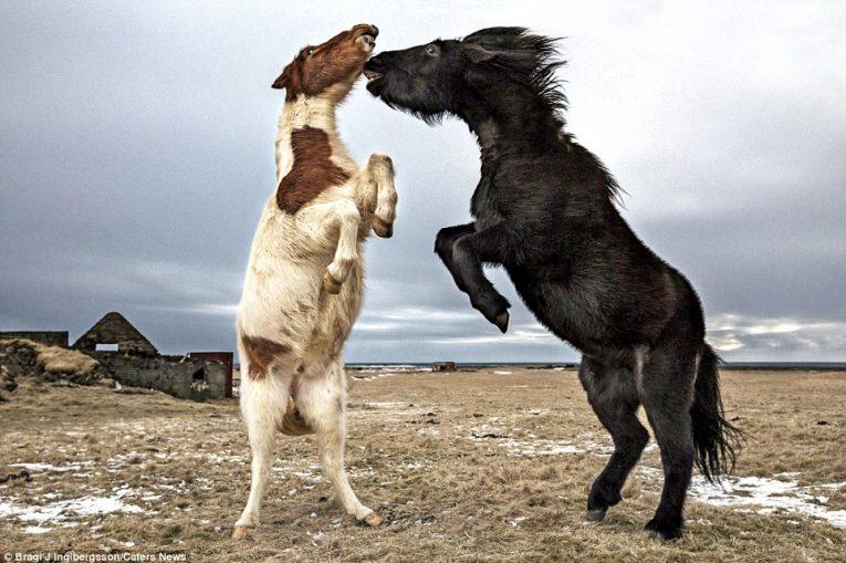 Дикие лошади Исландии - №13